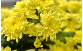 Доставка цветов – величественная хризантема